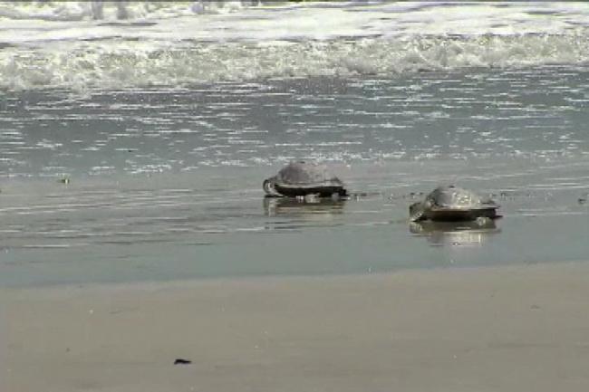 sea turtle_21544