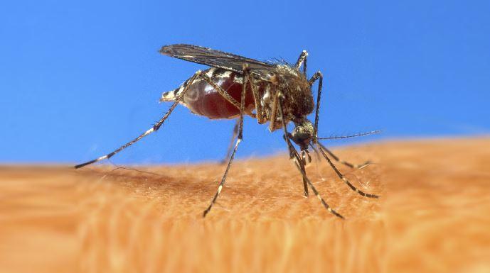mosquito_84799
