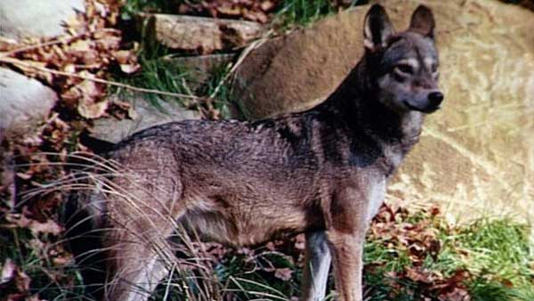 Red Wolf_23273