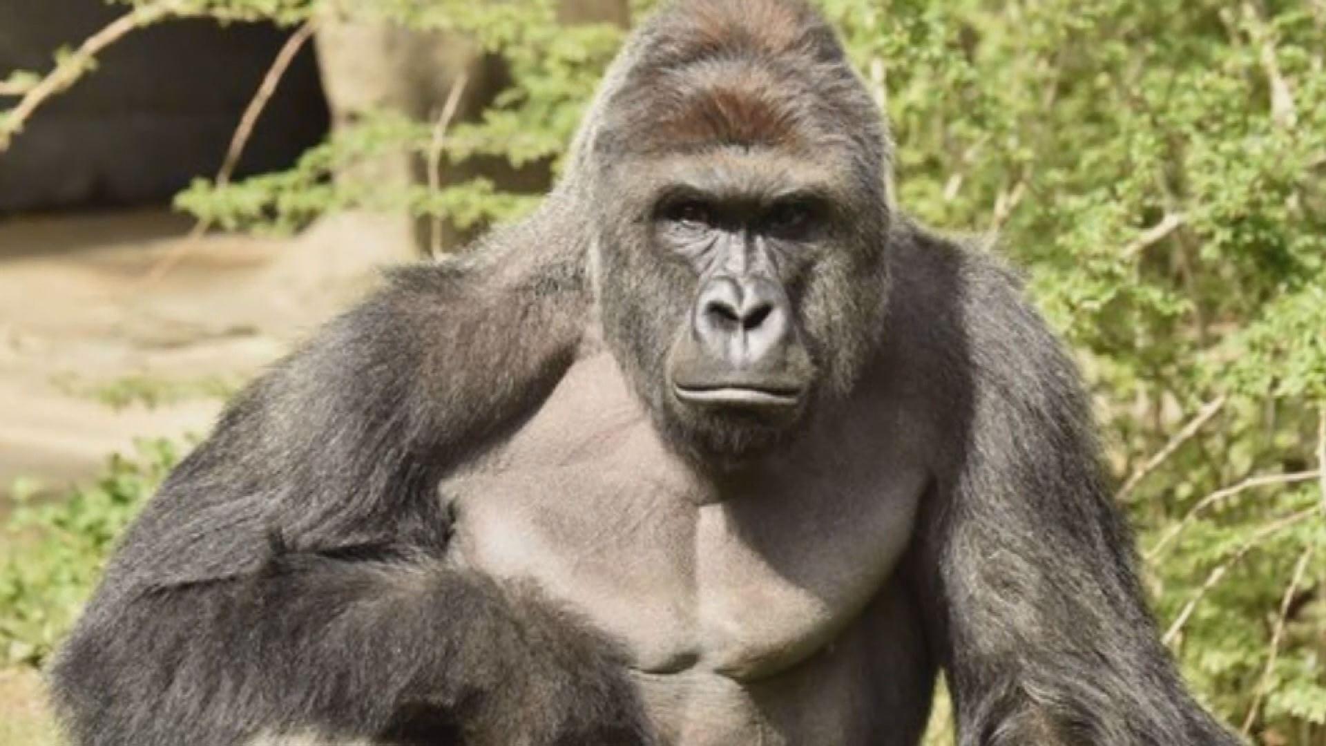 gorilla_222938