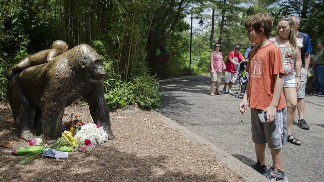 Zoo Gorilla Child Hurt_222817