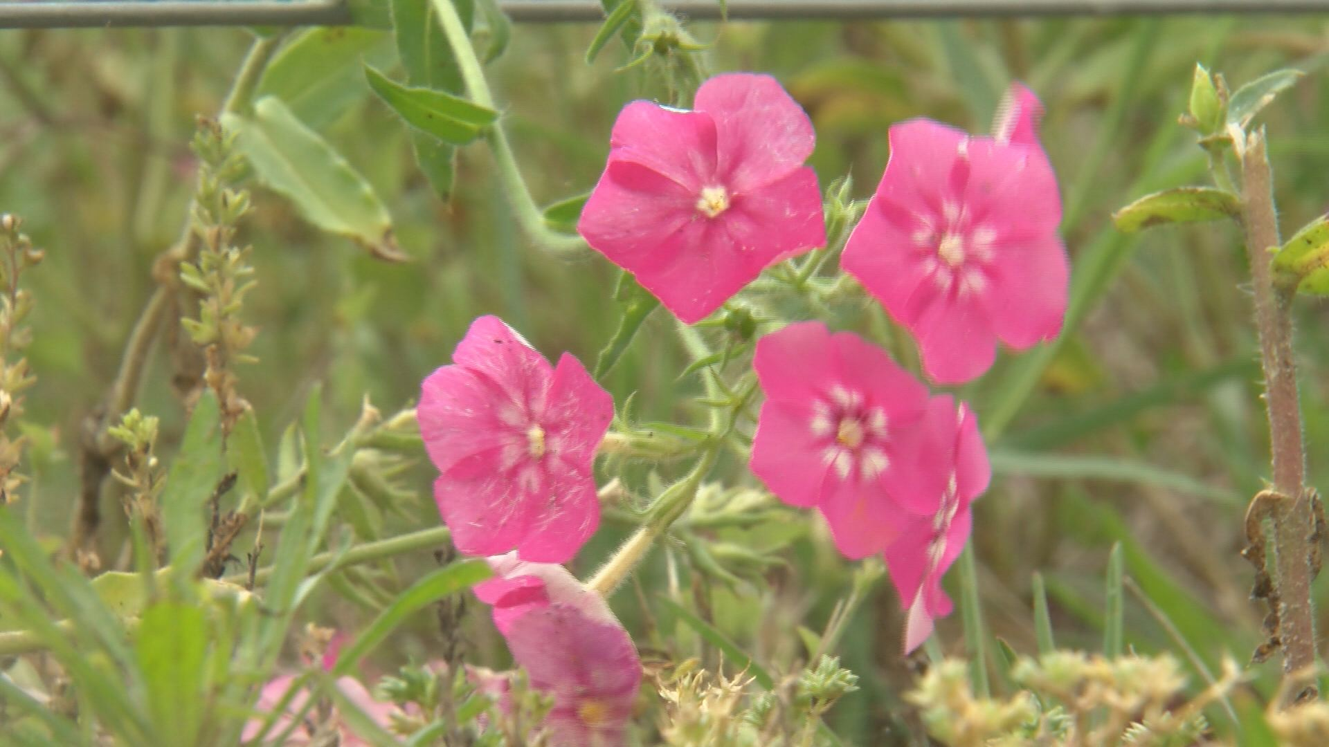 pink hill flowers_214278