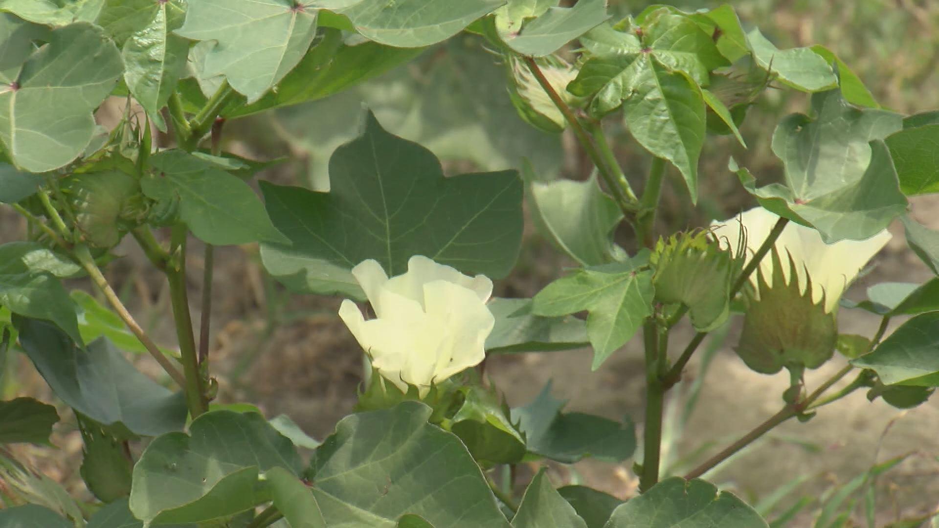 cotton crop_242250