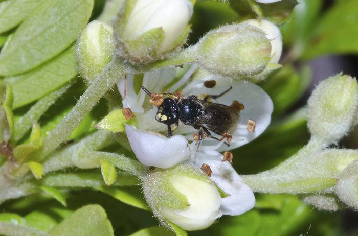 yellow-faced-bee-john-kaia-ap_296036