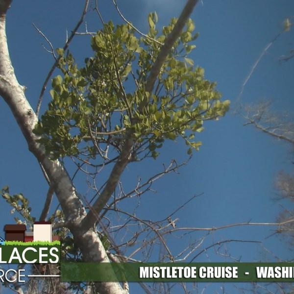 mistletoe-ppp-for-web_317328