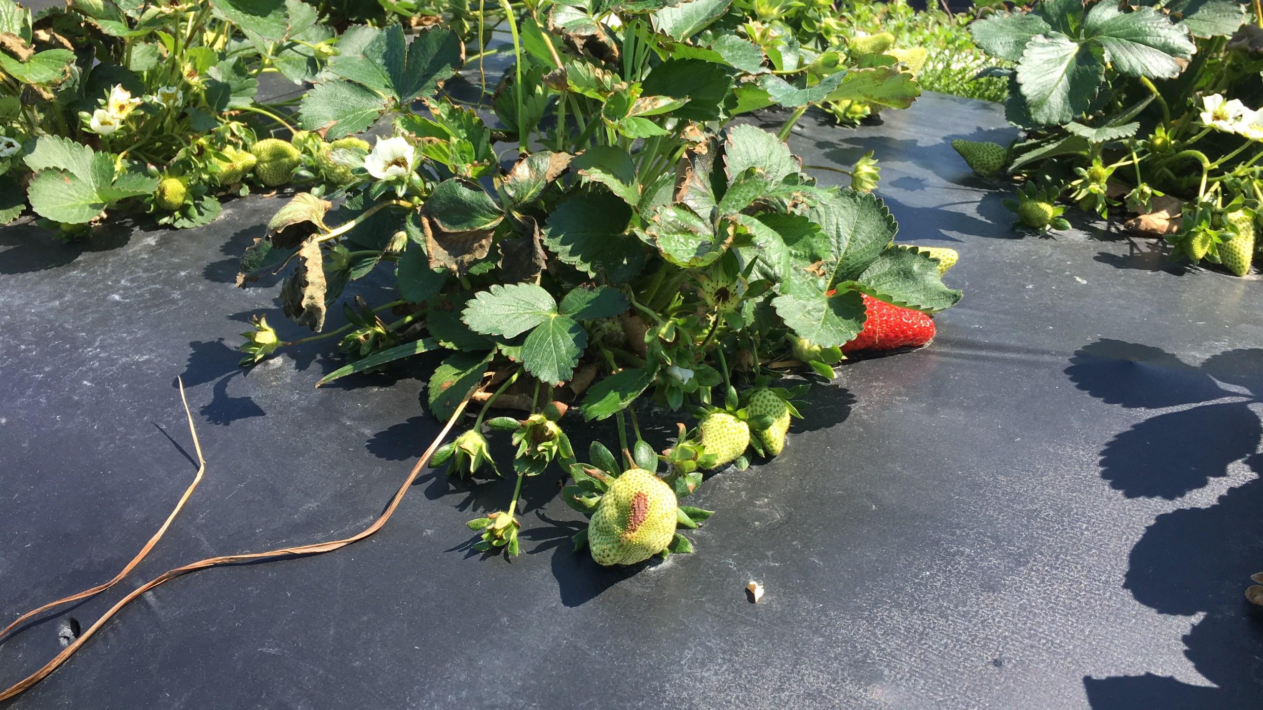 Strawberries_372715