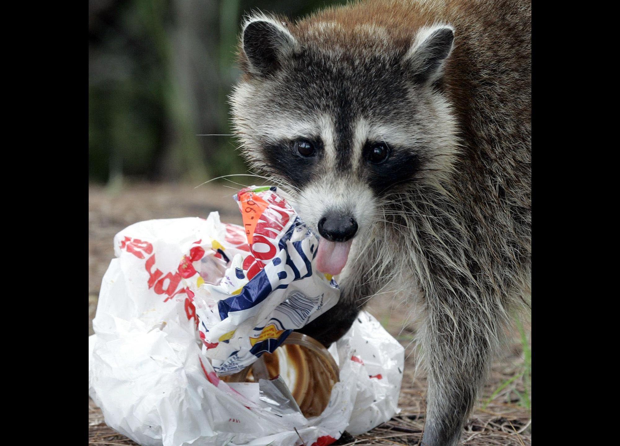 raccoon_391901
