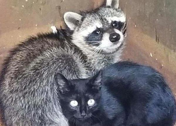 cat and raccoon_492970