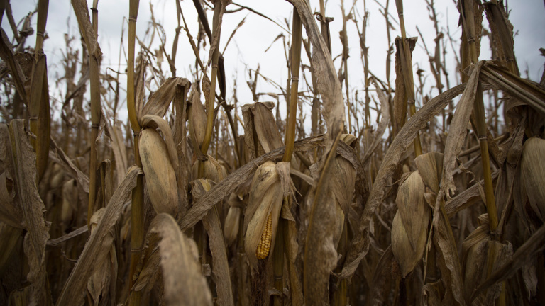 corn field_487637