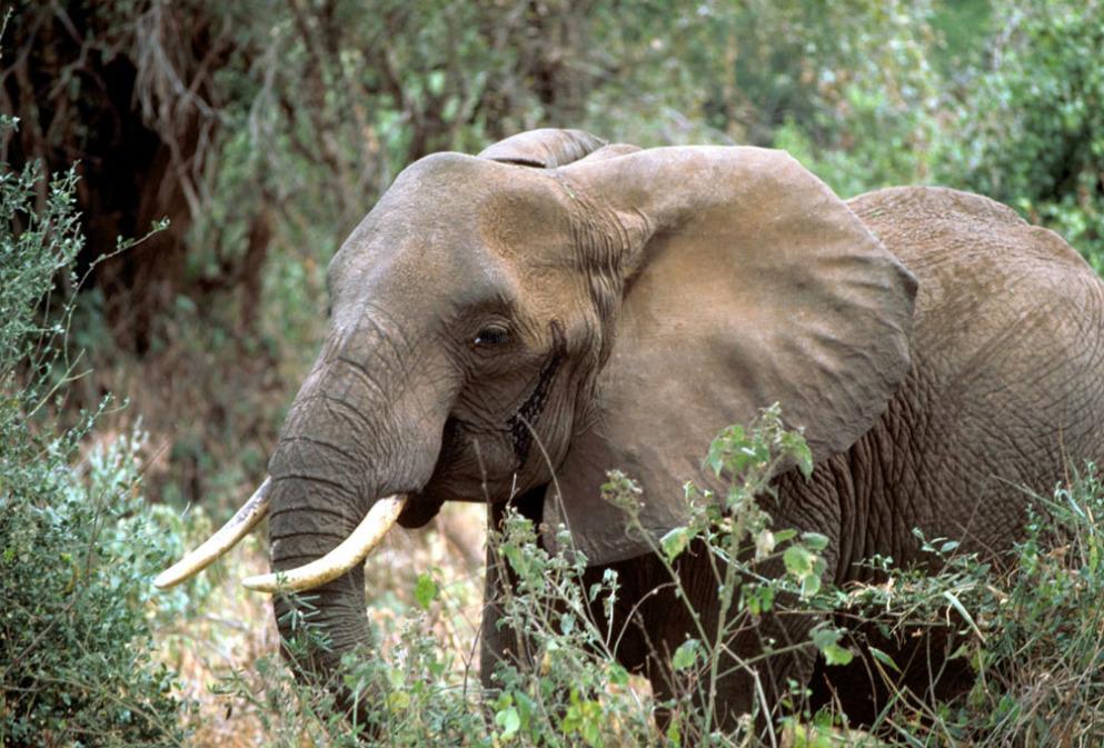 african_elephant_510635