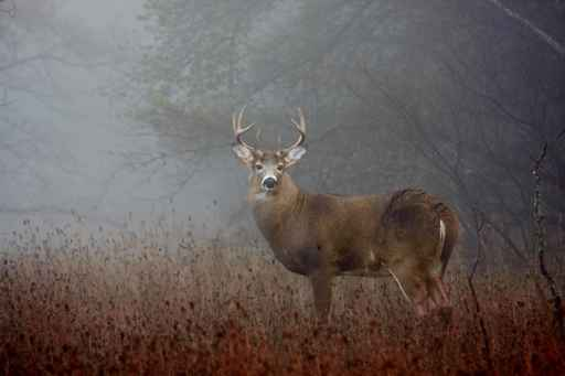 White-tailed deer buck with huge neck in the forest fog_499759