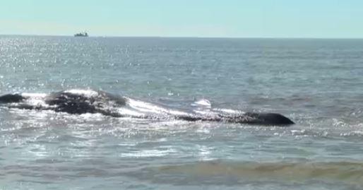 oak island beached whale_501139