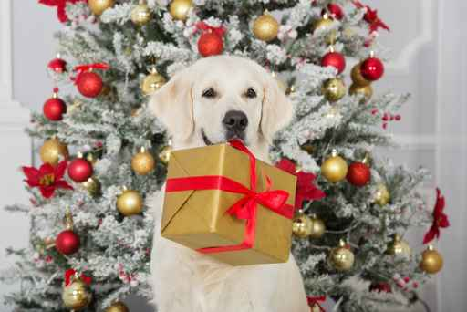 golden retriever dog holding a christmas gift box in her mouth_513348