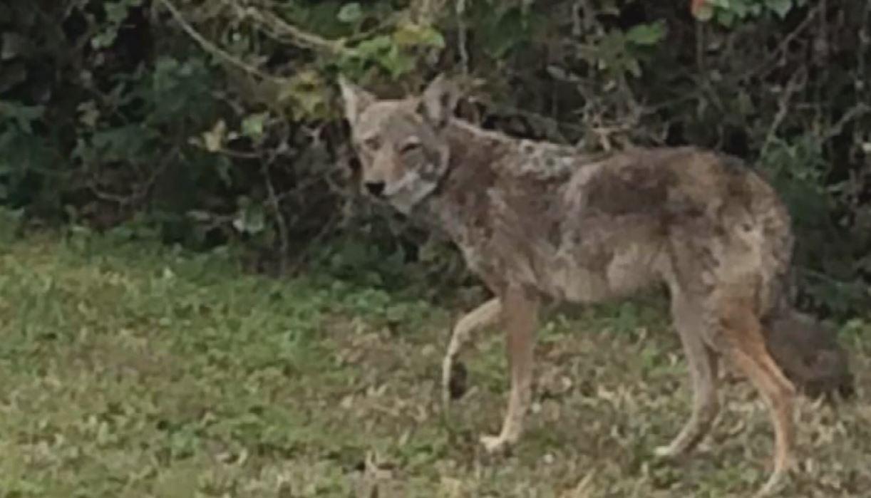 coyote_546358