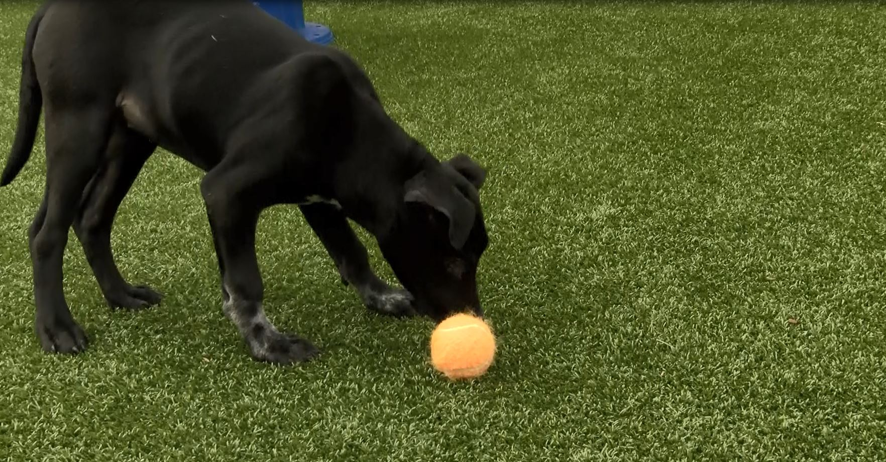 Dog with microchip_565240