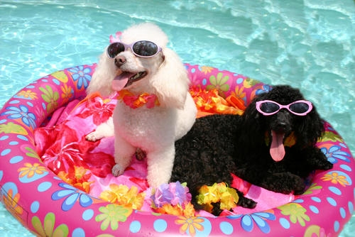 dogs in pool_46119