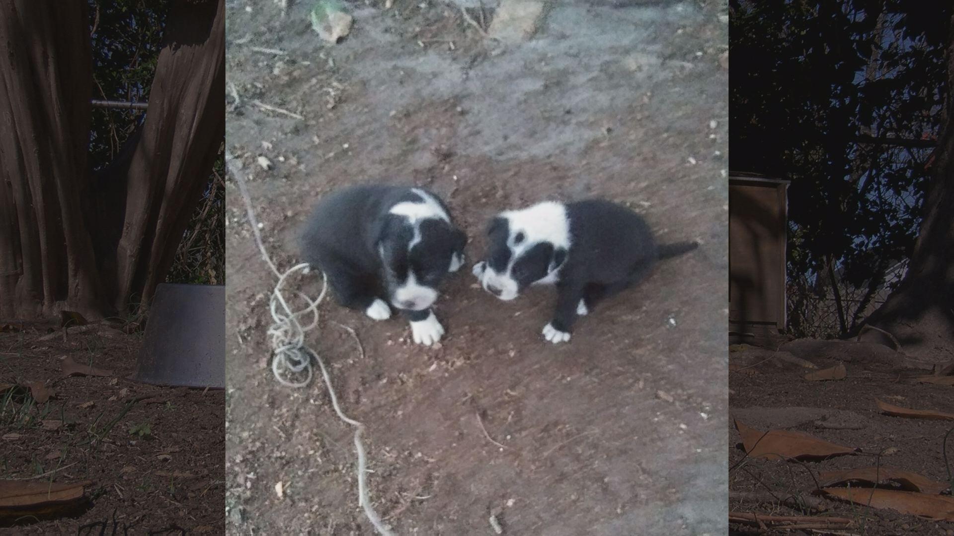 stolen puppies_573743