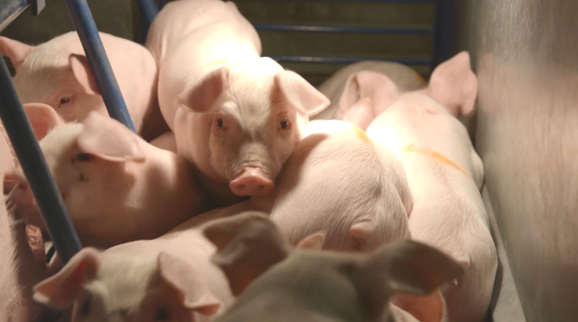 Pigs_1527030162635.JPG