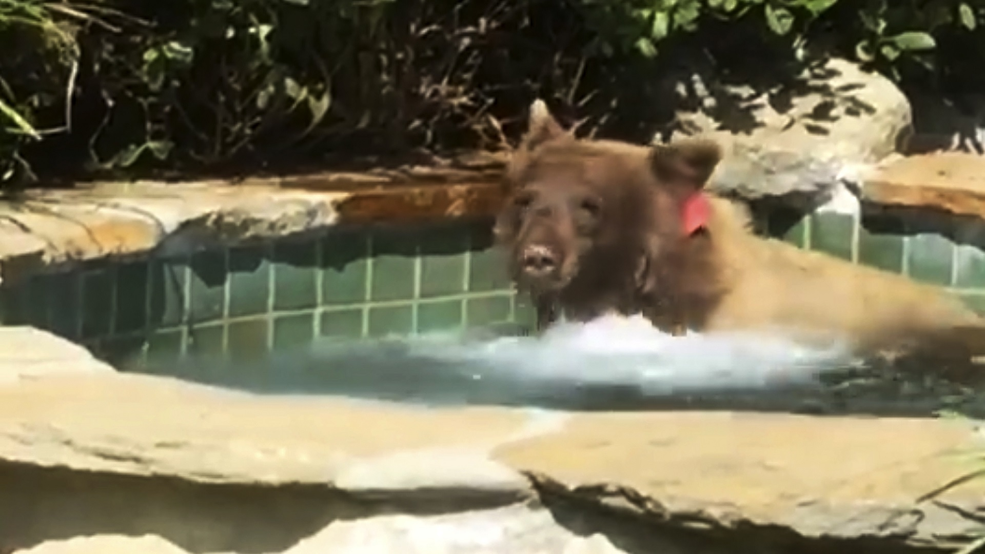 Bear In Hot Tub_1530659556077-846652698