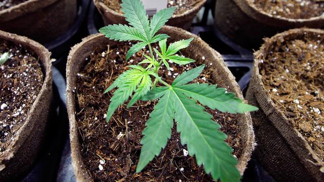 marijuana_1535365051868_53260456_ver1.0_640_360_1535371054139.jpg