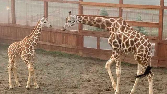 giraffette_1537698846135.jpg