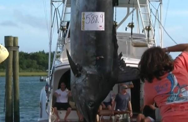 Wolverine 588 pound Marlin_1560212942731.jpg.jpg