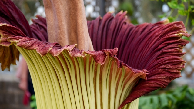Video Corpse Flower To Bloom And Stink For 2nd Time At Nc State Wnct