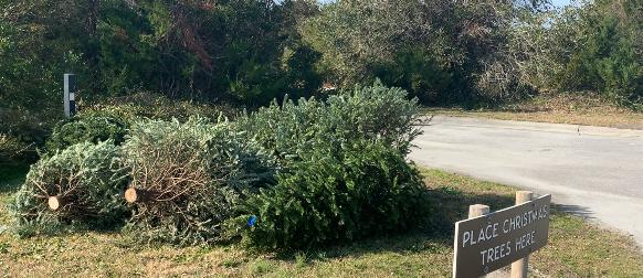 Fort Macon Christmas Trees 2020 Online Originals: Christmas tree recycling program restores dunes