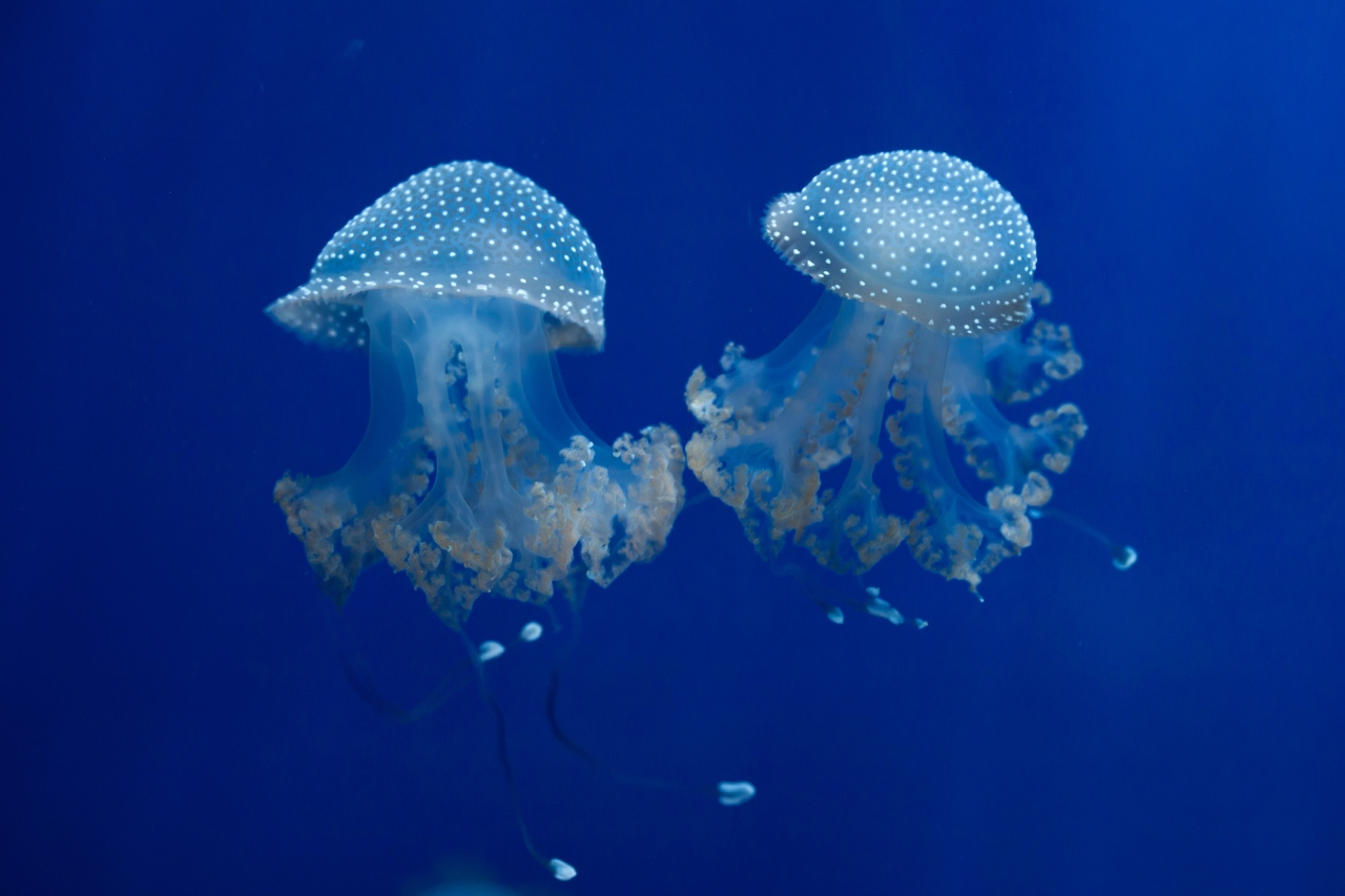 Beach ball-sized jellyfish that can damage boats appear on NC, SC coast